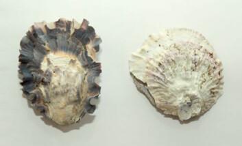 Stillehavsøsters (Crassostrea gigas) til venstre og flatøsters (Ostrea edulis) til høyre. (Foto: NIVA)