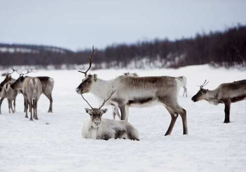 The Norwegian government ordered massive slaughterings of reindeer. Indigenous sami reindeer herders disagreed but were not heard.