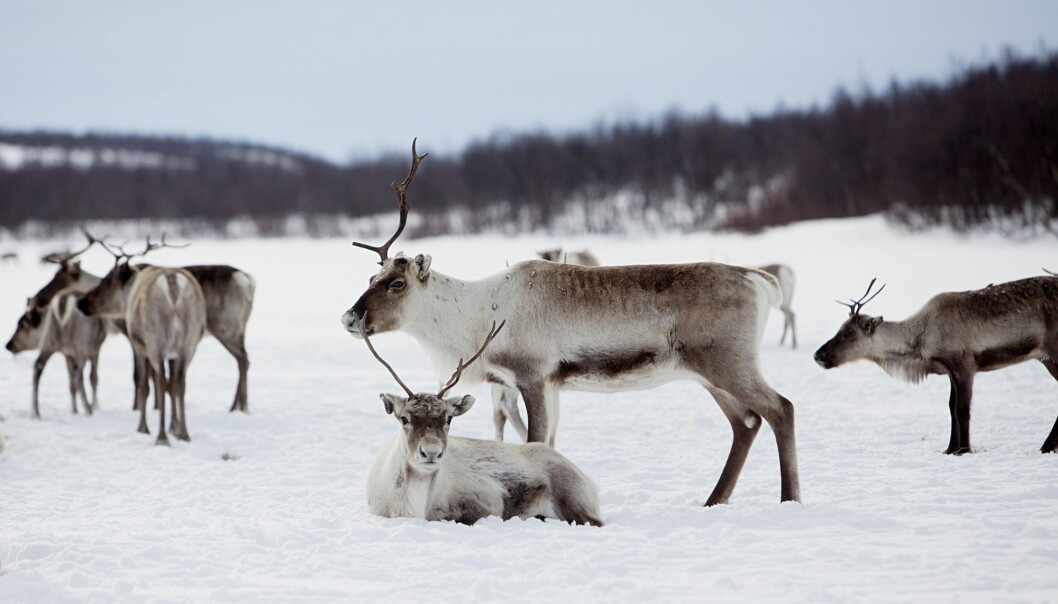 Under Norwegian law, only the indigenous Sámi people may own reindeer, except for some areas in the southern part of the country. For more than a decade the Norwegian Government has implemented policies of culling the reindeer herds in Northern Norway, as they claim the herds are too big to be sustainable.