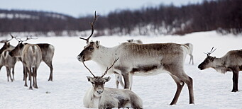 The Norwegian government ordered massive slaughterings of reindeer. Indigenous sami reindeer herders disagreed but were not heard.