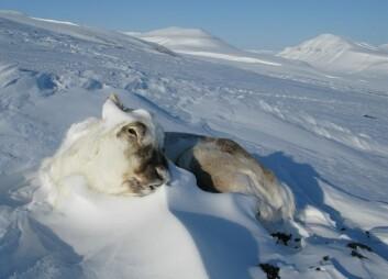 Mildvær på vinteren kan gi en knekk i bestandene av svalbardrein. (Foto: Eva Fuglei, Norsk Polarinstitutt)