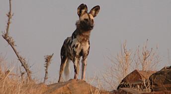 Afrikas svar på ulvestriden