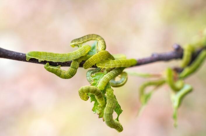 Våren er kritisk for klekkingen av sommerfugllarvene i nord – her fjellbjørkemåler. Når klekkingen av eggene sammenfaller med lauvsprett hos bjørka, kan det bli dramatiske utbrudd. (Foto: Moritz Klinghardt)