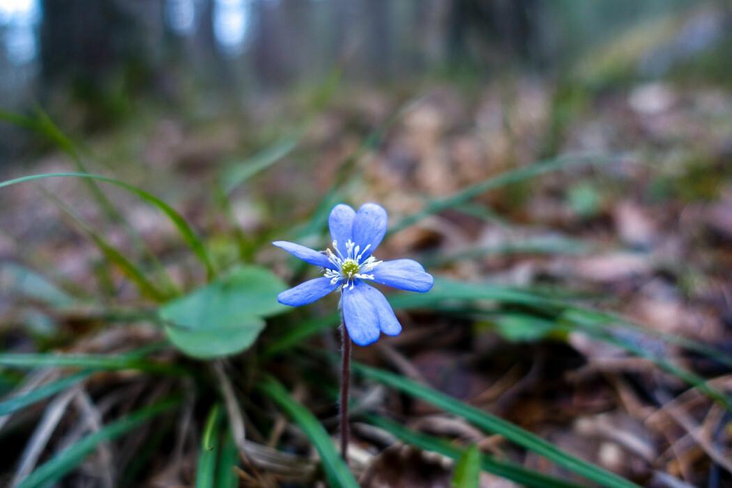 Blåveisen blomstret i veikanten på Svartskog i Oppegård midt i februar.