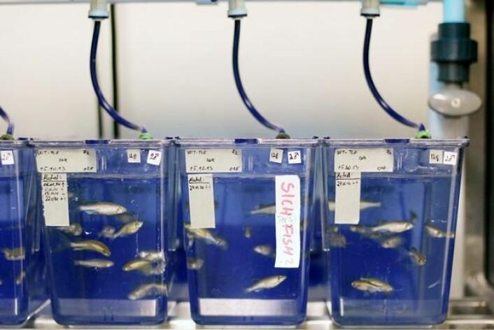 Forskerne trodde at metylkvikksølv alene ville redusere fertiliteten til sebrafisken. Det viste seg at dette hadde liten innvirkning på reproduksjonen. Når fisken imidlertid fikk økte doser med selen, så fikk fisken færre avkom. (Foto: NIFES)