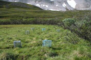 Bildet er fra Varangerhalvøya, og burene er en del av felteksperiment som belyser i hvilken grad ulike arter av plantere motvirker gjengroingen. (Foto: Rolf A. Ims, UiT)