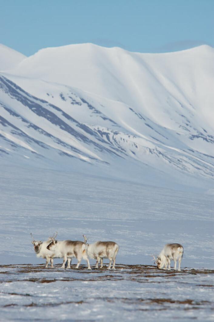 Svalbardrein kan få dårligere beiteforhold og svikt i kalvingen den påfølgende sommeren når det regner på vinteren. (Foto: Erik Ropstad)