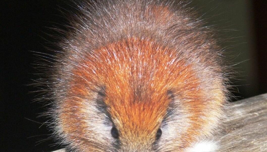 Denne trerotta, som kjennetegnes ved sin røde pels, har bare blitt sett tre ganger siden arten ble oppdaget for over 100 år siden. Den bor antageligvis bare i Santa Marta-fjellene i Colombia. Lizzie Noble/Fundacíon ProAves
