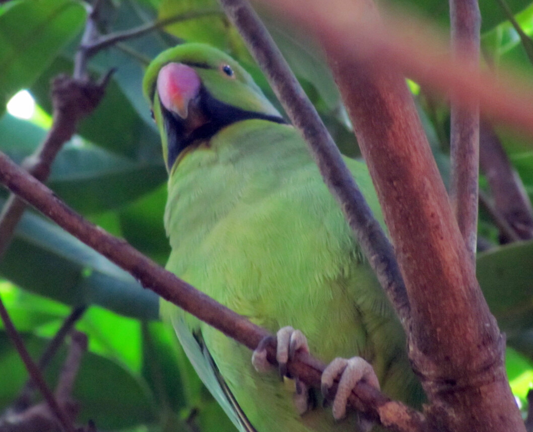 The echo parakeet has been saved from extinction, thanks to conservation measures.