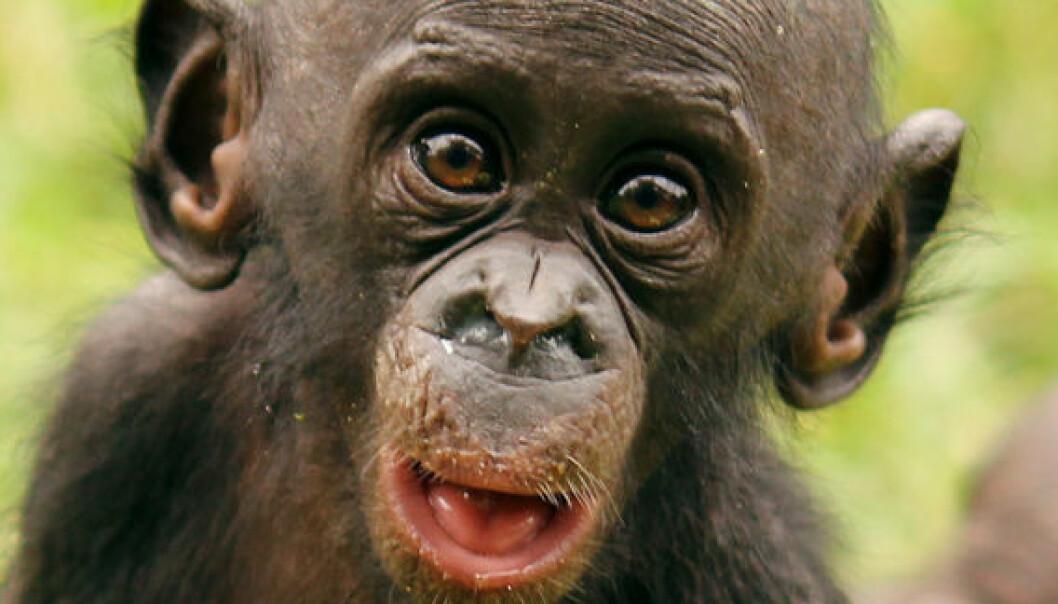 Baby-bonobo spiser papaya. Jingzhi Tan
