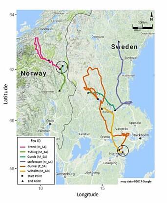 Studien viser at rødreven kan bevege seg over store områder, opptil 1036 kilometer på ni dager. Hvorfor noen rever forflytter seg så mye, vet ikke forskerne.