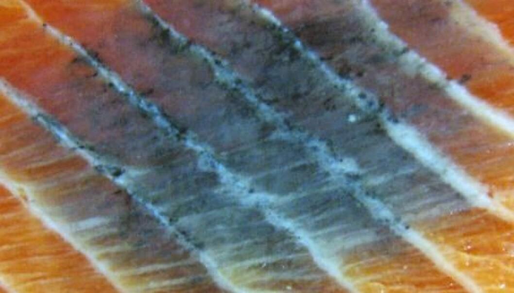 Melaninflekk i laksefilet. Erling O. Koppang