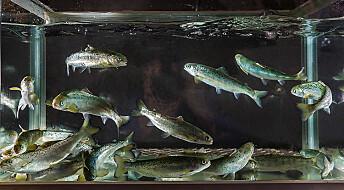 Plantefôr i oppdrettsfisken kan gje oss mindre omega-3