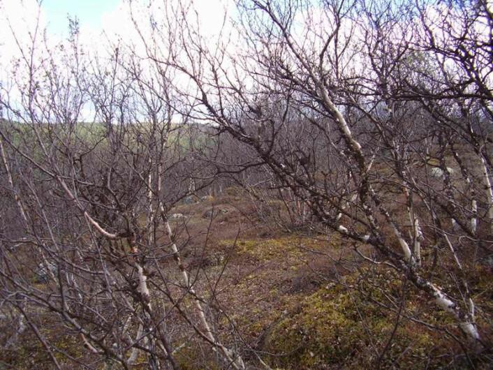 DØD SKOG: Målerutbruddet i Finnmark og Troms som startet i 2002 mangler sidestykke i historien. Enorme områder med småbjørkeskog ble ødelagt. (Foto: www.birchmoth.com)