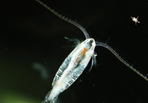 Lab experiment: Small doses of delousing agent for farmed salmon killed zooplankton