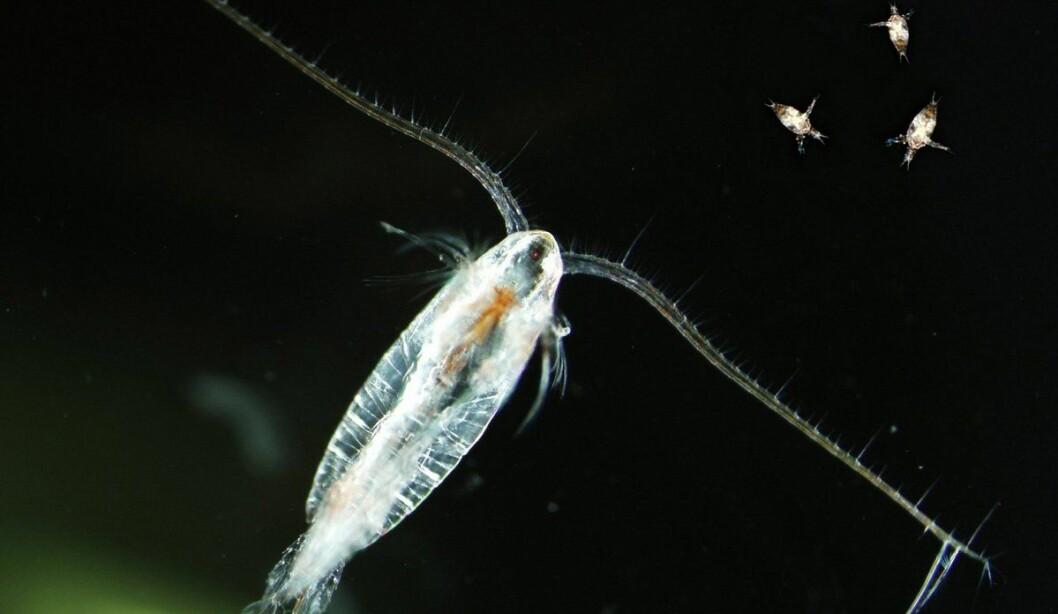 Calanus is the main species of zooplankton in the Norwegian Sea.
