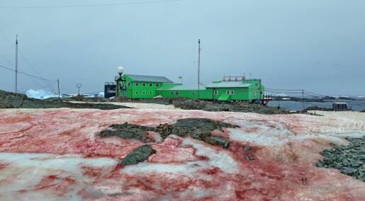 Varm sommer gir algeoppblomstring og blodrød snø på Antarktis