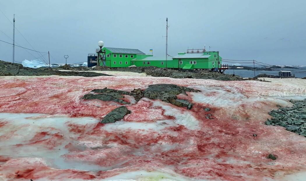 Takket være en varm sommer i Antarktis er det blitt gode forhold for algen som gir snøen denne blodrøde fargen.