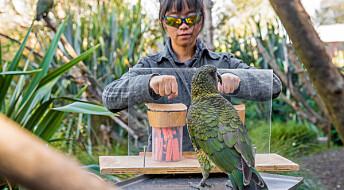 Papegøyer beregner sannsynlighet som mennesker
