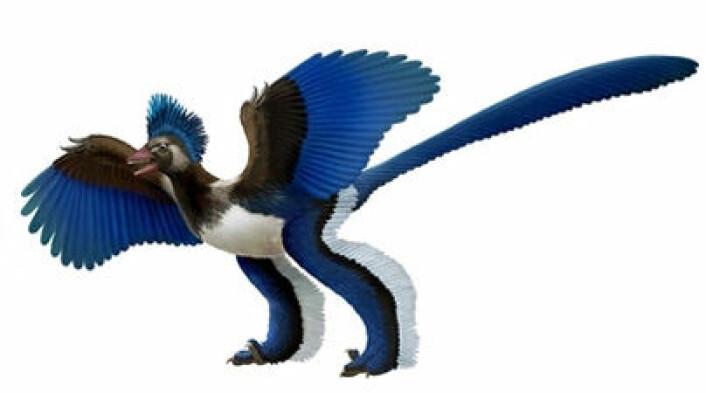Den fuglelignende dinosauren Xiaotingia zhengi (bildet) kan skyve bort Archaeopteryx som selve urfuglen. (Foto: (Illustrasjon: Xing Lida og Liu Yi))