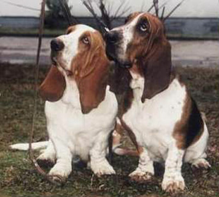 Jakt til fots .. det hadde vært noe, det. Basset hound. (Foto: Wikimedia Commons)