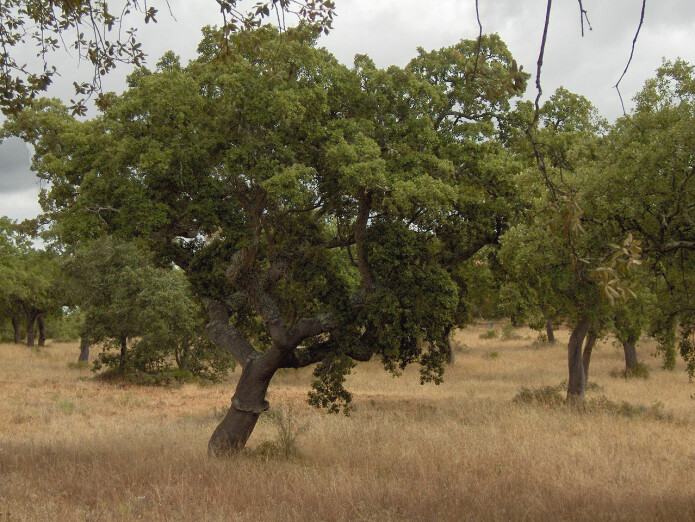 Her er bilde fra en savannne i Alentejo i Portugal med middelhavsklima.