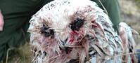 Snøugla Hedwig mistet ungene i myggangrep. Overlevde såvidt selv