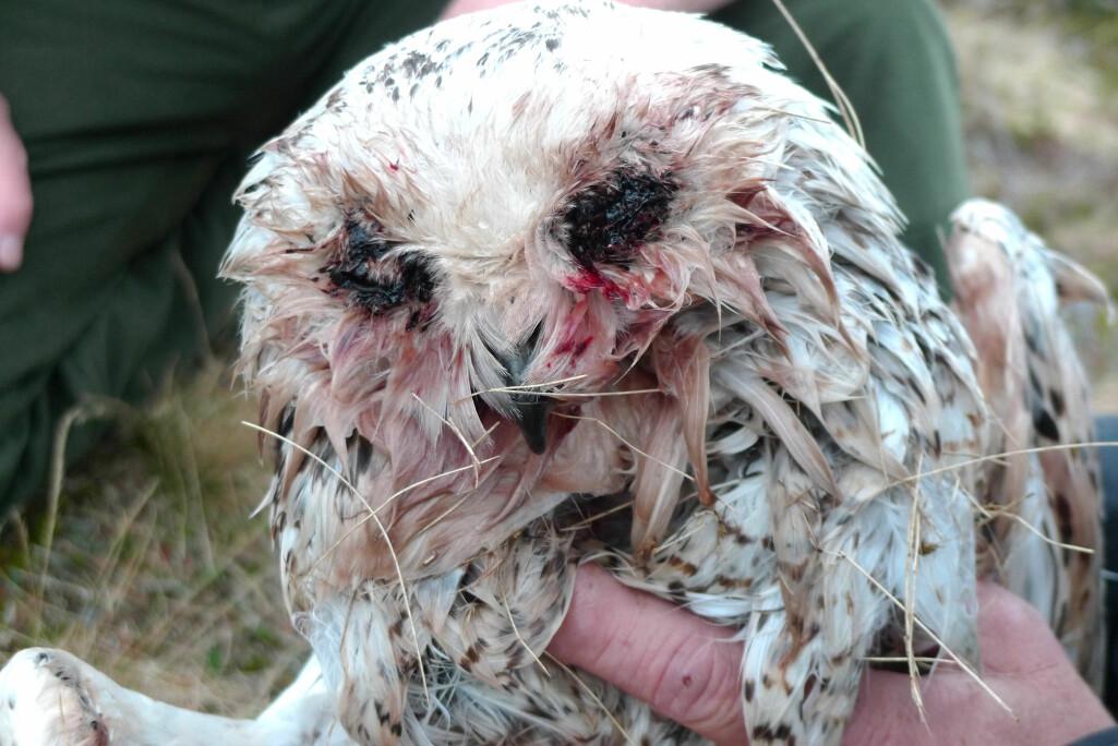 Snøugla var nesten livløs da forskerne fikk tak i henne. De små blodsugerne hadde angrepet øynene og fuglekroppen over flere uker.