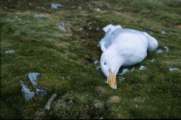 Voksen polarmåke funnet død i Revdalen, Bjørnøya. Dødsårsaken er trolig høye nivåer av miljøgifter. (Foto: Hallvard Strøm / Norsk Polarinstitutt)