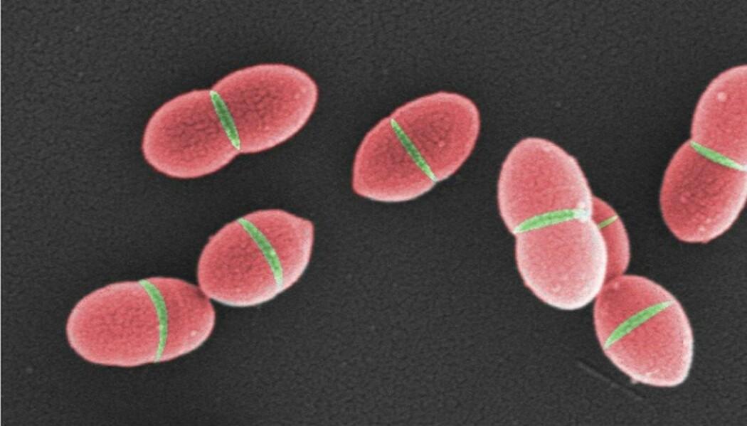 Illustrasjonen viser celler som deler seg. Rød cellevegg er modnet cellevegg, mens det grønne er ny cellevegg i delingssonen. Det er det grønne som omdannes til det røde av klasse A PBP-er. (Fargene på bildet er lagt på digitalt.)