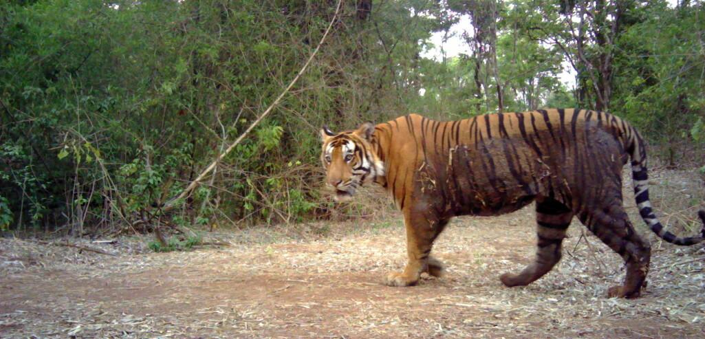 "Tigeren i India kan være et eksempel på en ""politisert"" bestand."