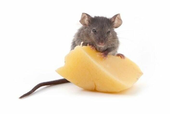 En gruppe forskere klarte å få mus født uten luktesans til å lukte, blant annet duften av ost. (Foto: Colourbox)
