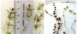 DNA-analyse oppklarer alge-mysterium på Svalbard