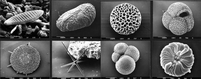 Mens det er få og langt mellom dinosaurbeina, er det haugevis med mikrofossiler i bakken. Dermed er de gode referansearter for å se når nye organismer dukket opp. (Foto: Hannes Grobe/AWI/Wikimedia Creative Commons)