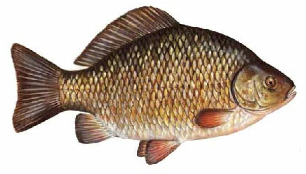 Fisk med nese for sex og vold