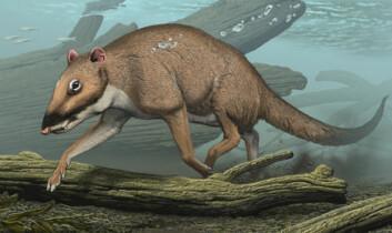 """""""Indohyus kan ha sett ut slik, da den levde for 48 millioner år siden. Illustratøren har forestilt seg at den kan ha dykket omtrent på samme måte som arten african mousedeer gjør i dag."""""""
