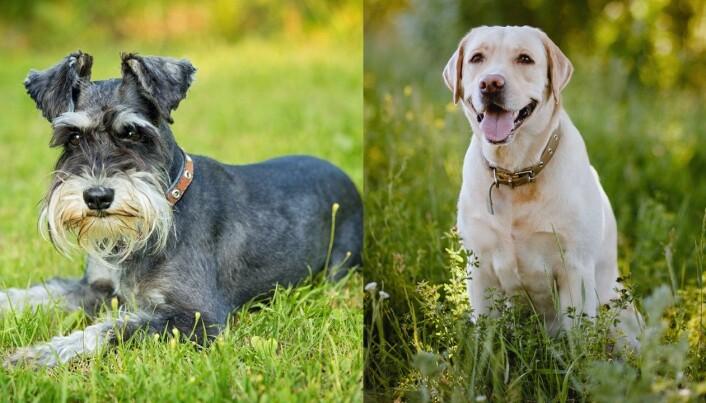 Elleve prosent av dvergschnauzerne i undersøkelsen hadde problemer med aggresjon. Labrador retreiver var hunderasen som hadde minst aggresjon.