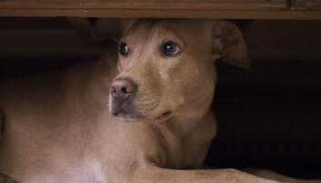 Noen hunderaser er mer utsatt for angst, aggresjon og tvangslidelser