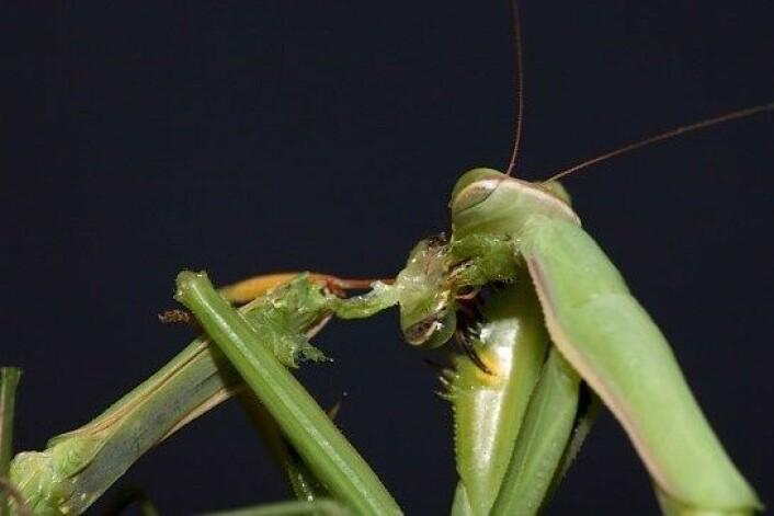 Kneler-insektet er kjent for seksuell kannibalisme. Her et hoa hovudet til paringspartnaren sin. (Foto: Oliver Koemmerling, CC)