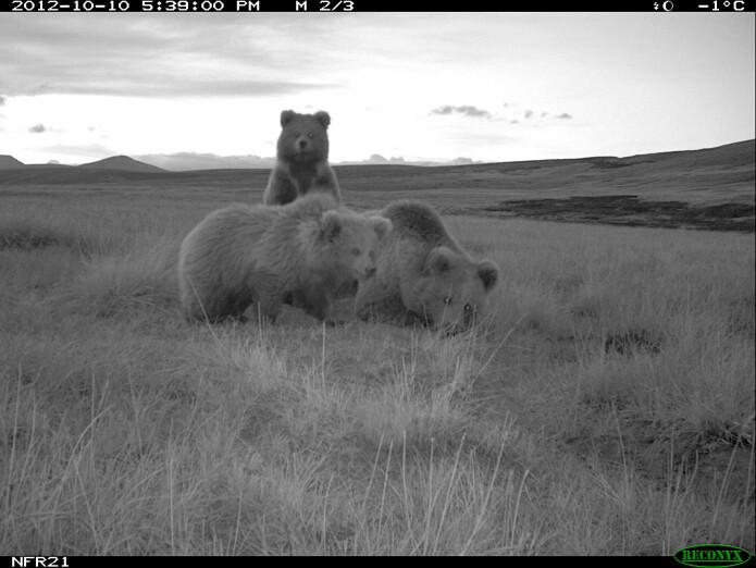 Bilde av Himalaya-brunbjørner tatt med viltkamera. Mor med to unger.