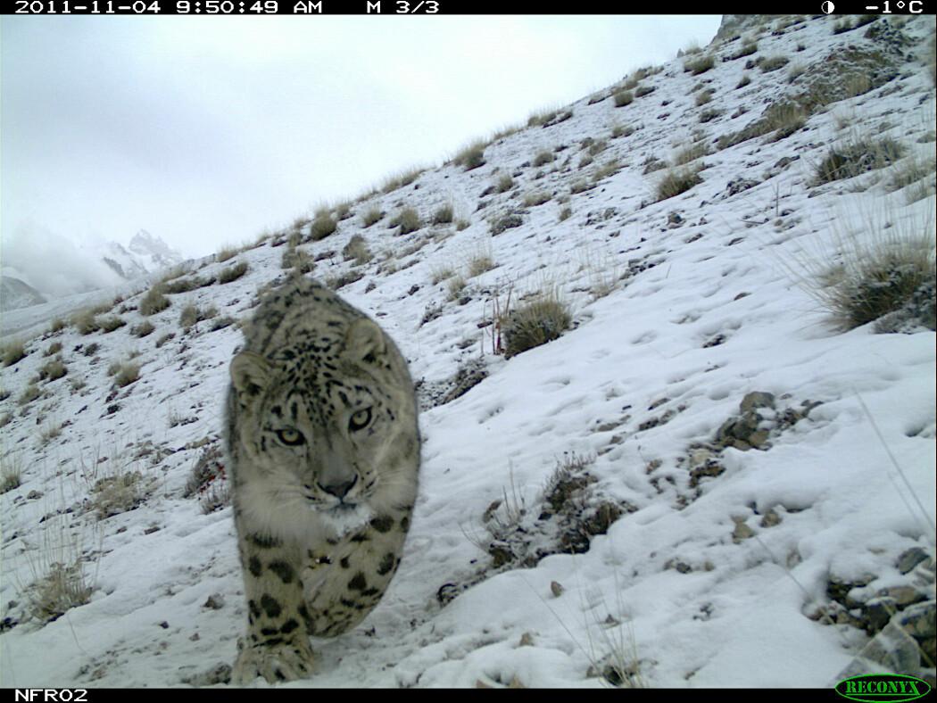Det er vanskelig å telle og forske på snøleopardene, for disse dyrene er veldig sky. Nå vil forskere ta i bruk nye metoder som kan gjør det lettere å forske på skjeldne dyr. Dette bildet er tatt med viltkamera som automatisk fotograferer når dyr beveger seg foran kameralinsen.