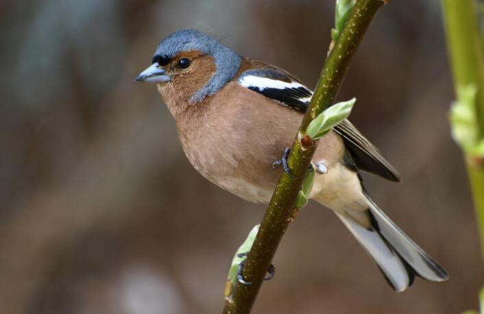 Bokfinken er en av fuglene som det er mulig å lokalisere ved hjelp av skannerdata. (Foto: Colourbox)