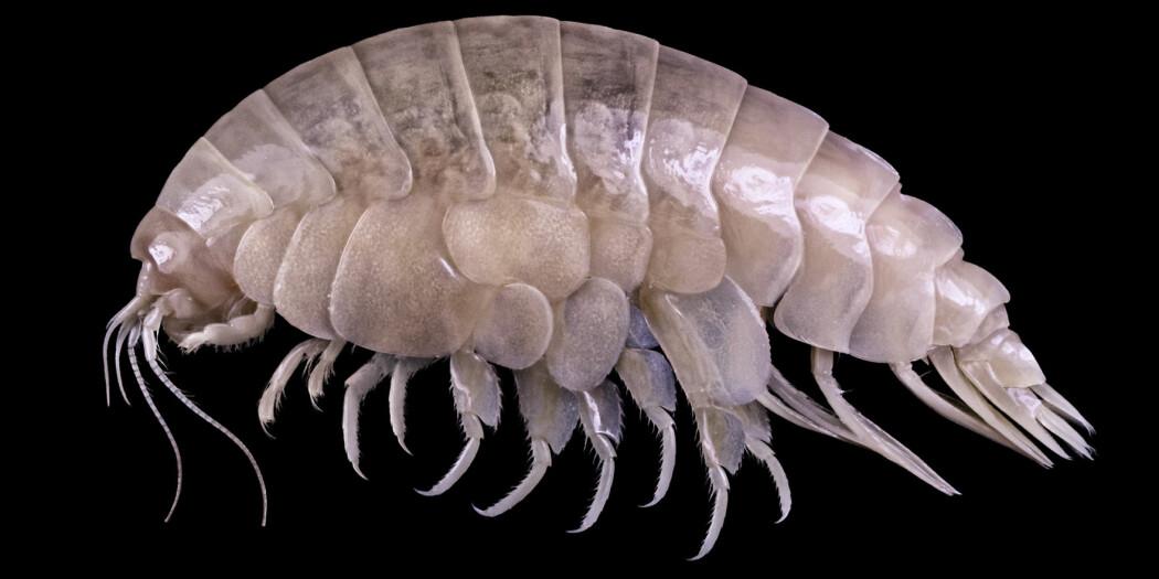 Denne arten ble nylig oppdaget av britiske forskere.