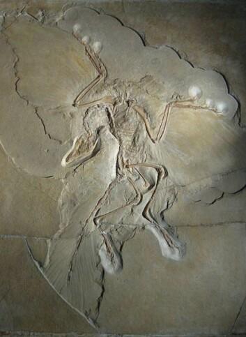 Archaeopteryx (Foto: H. Raab/Wikimedia Creative Commons)