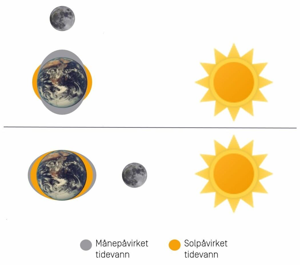Månen påvirker vannstanden mer enn sola. Når sola og månen drar vannstanden i samme retning, får vi springflo.