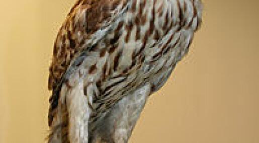 Småfuglene drar nytte av hønsehauken