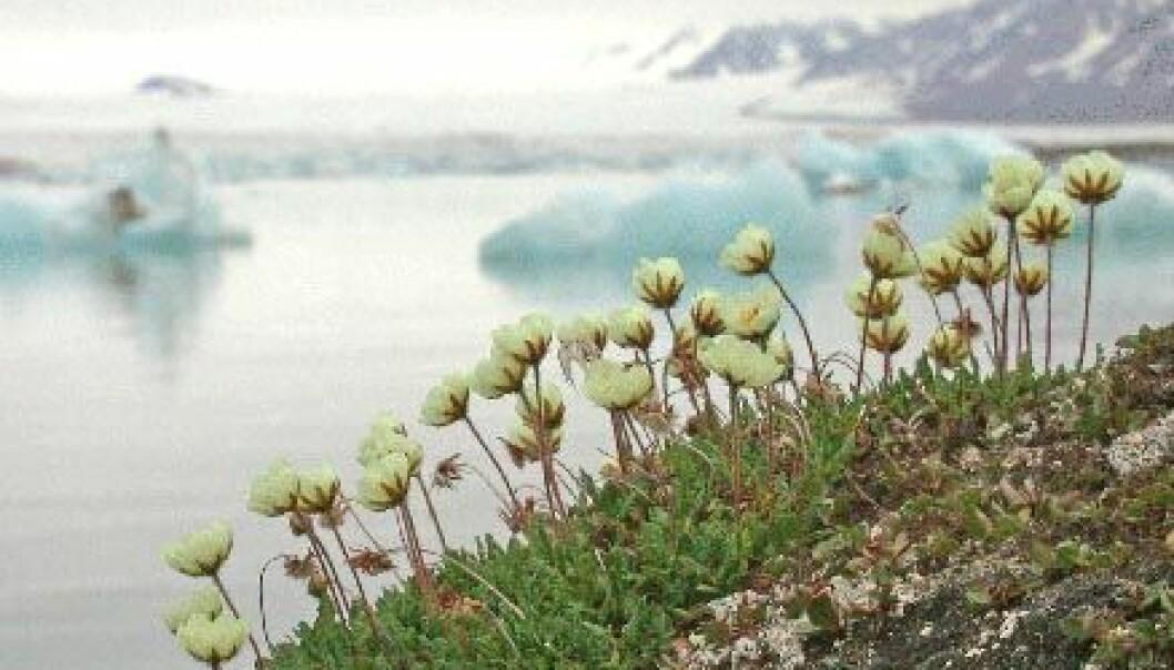 """""""Reinrose (Dryas octopetala) har etablert seg vel på Svalbard, til tross for korte somrer og karrig landskap. Men med et varmere Arktisk kan det hende denne arten vil forsvinne igjen."""""""