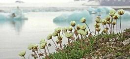 Arktiske planter i faresonen?
