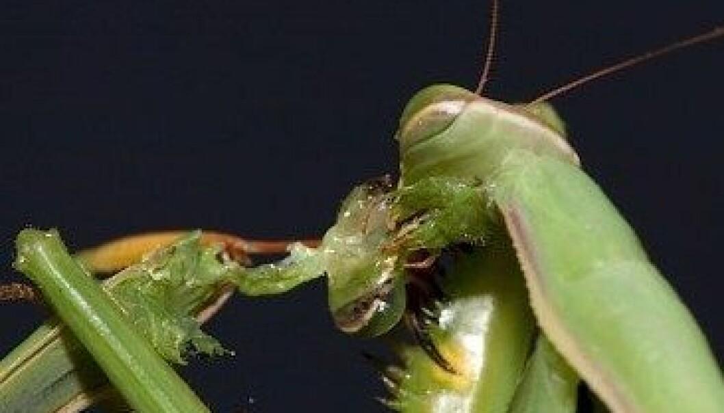 Kneler-insektet er kjent for seksuell kannibalisme. Her et hoa hovudet til paringspartnaren sin. Oliver Koemmerling, CC