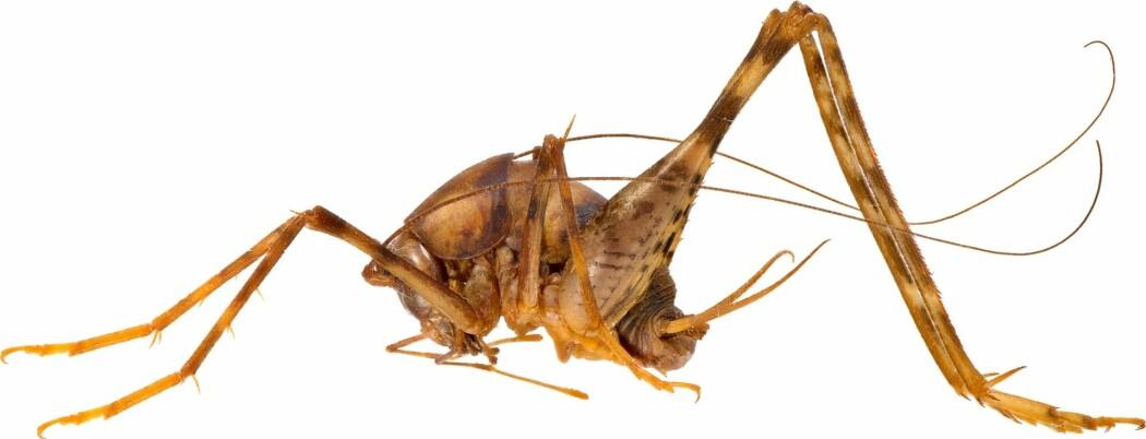 Veksthusgresshoppe (<i>Tachycines asynamorus</i>).